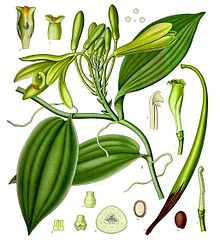 Vanilla_planifolia_-_Kohler%E2%80%93s_Medizinal-Pflanzen-278-1 The Bourbon vanilla of Madagascar
