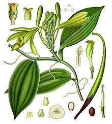 Vanilla_planifolia_-_Kohler%E2%80%93s_Medizinal-Pflanzen-278 Bourbon vanilla from Madagascar