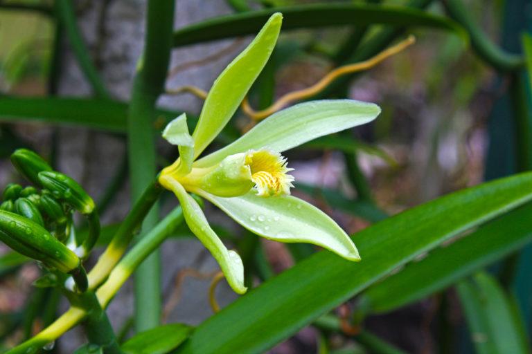 ile-de-la-reunion-fleur-vanille-768x512-1 La vanille Bourbon de Madagascar
