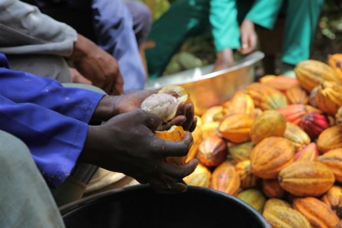 img_7929 Organic fair trade cocoa