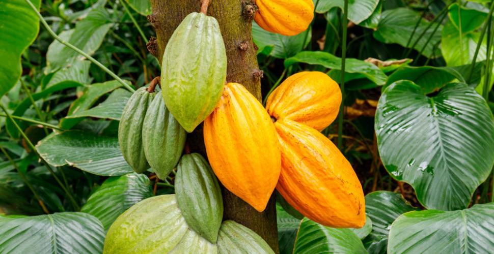 shutterstock_1049622845 Organic fair trade cocoa